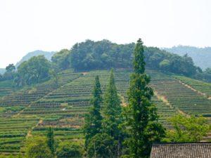 中国国民が愛する龍井茶