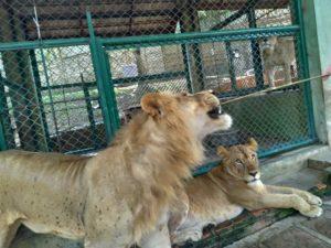 トラだけでなくライオンも